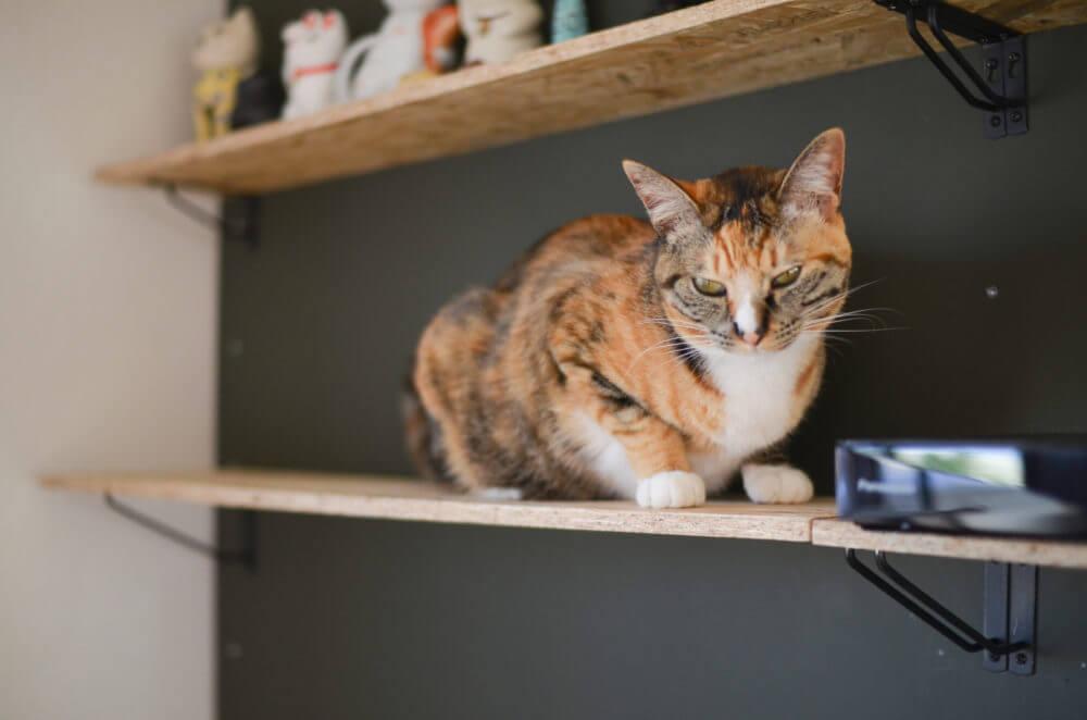 DIYで作った壁に取り付けたキャットウォークを愛猫が歩いています。