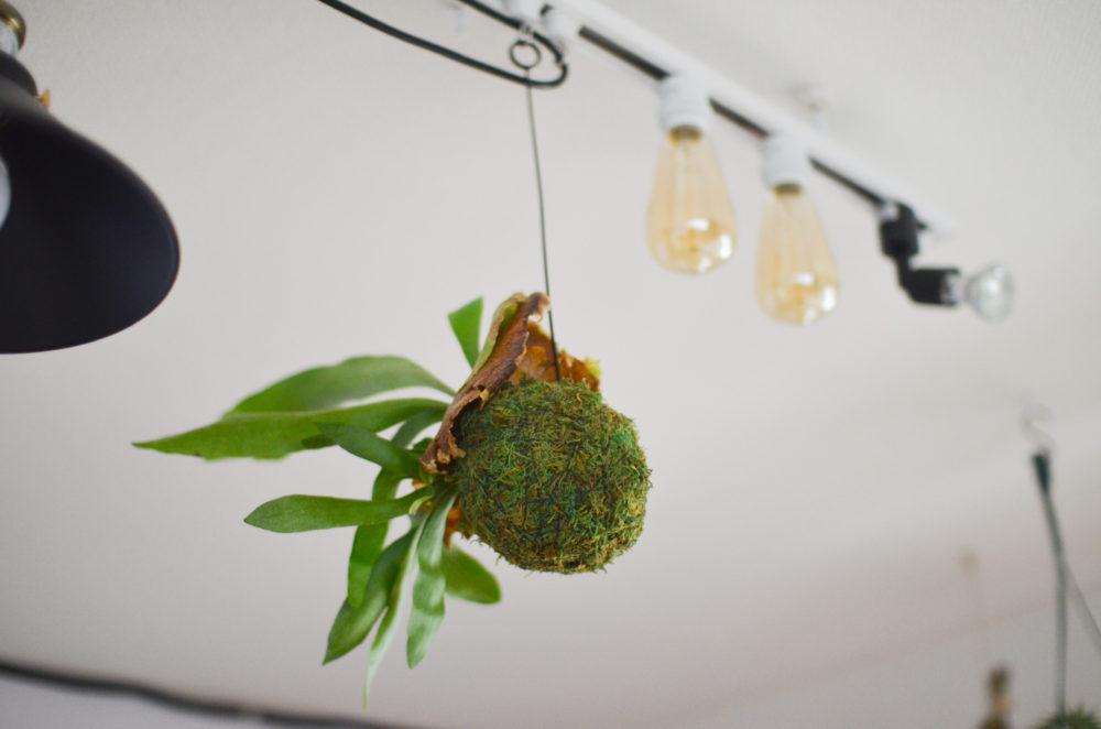 ダクトレールにつけたフックでコウモリランを吊るして栽培。