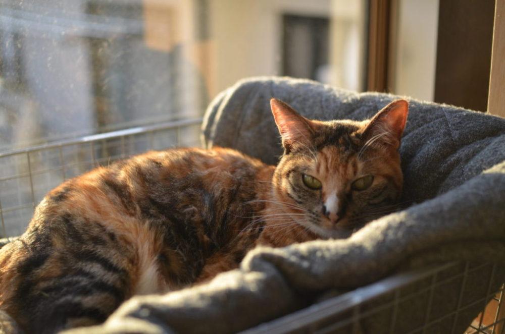 窓辺のベットでくつろぐ愛猫パッタイ。